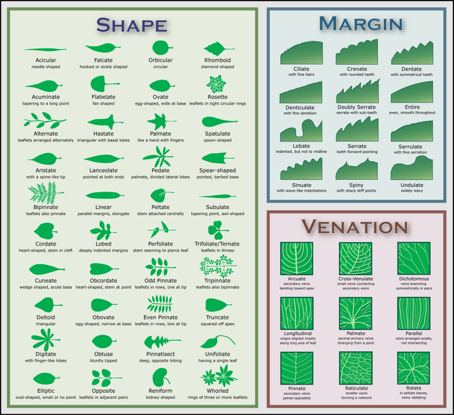 Chart illustrating some leaf morphology terms