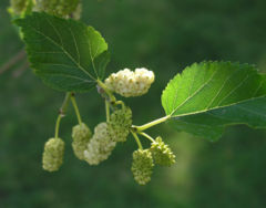 White Mulberry leaves and fruit