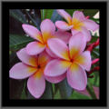 Pink frangipani flowers with rain drops-3097.jpg