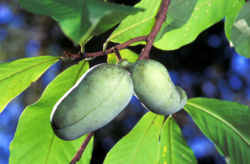 Common Pawpaw in fruit
