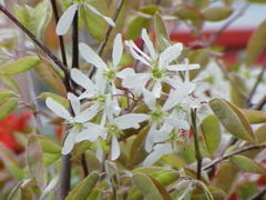 'Amelanchier lamarckii in flower