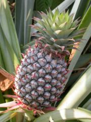 A pineapple, on its parent plant