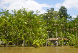 A grove of Açaí palms