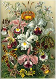 Color plate from Ernst Haeckel's Kunstformen der Natur
