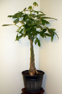 Typical woven trunked specimen sold as house plant