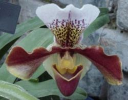 An orchid of the genus Paphiopedilum