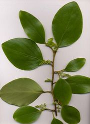 Griselinia littoralis foliage and flowers