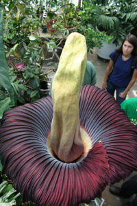 Corpse flower at UC Davis