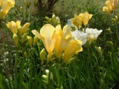 Cultivated freesias
