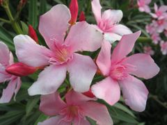 Nerium oleander in flower