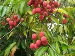 Fruit on tree