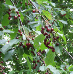 Wild Cherry foliage and fruit