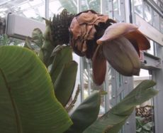 Esente superbum at the United States Botanic Garden