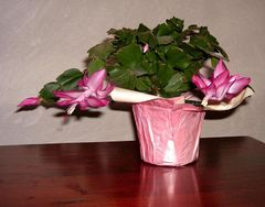 Thanksgiving Cactus in bloom