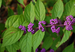 Callicarpa dichotoma 'Early Amethyst' (Purple Beautyberry)