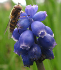 Syrphid fly on Virginia Bluebells.jpg