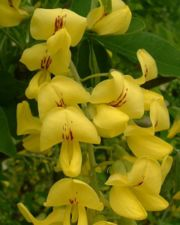 Common Laburnum - flowers