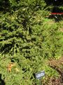 Picea abies-clanbrassiliana-norway spruce-IMG 7714 sfbg0308.jpg
