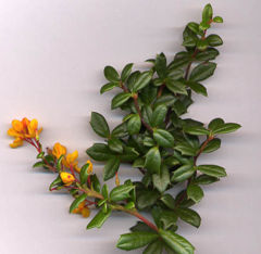 Berberis darwinii shoot with flowers