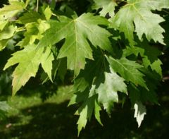 Silver Maple (Acer saccharinum) leaves