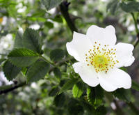 Flower of Rosa arvensis