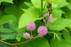 Mimosa pudica foliage and flower-heads