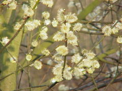 Goat Willow male catkins