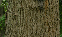 The bark of the Red mulberry tree