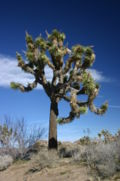 Joshua Tree in Joshua Tree National Park.jpg