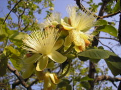 Flowers of pequi, a popular Brazilian fruit