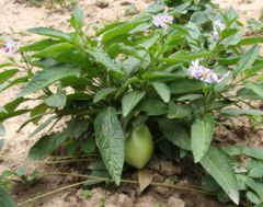 Pepino plant, flower, fruit