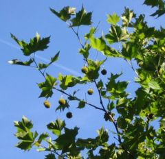 Leaves and fruit of a London Plane