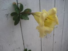 Chalice Vine peeking out of fence