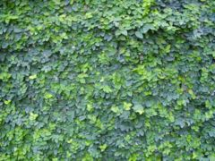 Dwarf Creeping Fig.JPG
