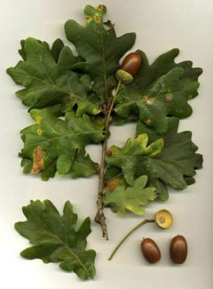 Leaves and acorns; note the long acorn stems