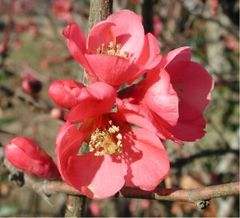 Chaenomeles in flower, probably a cultivar of C. × superba
