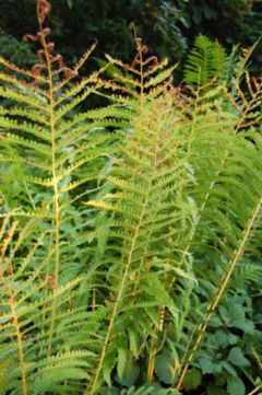 Sterile fronds in late summer