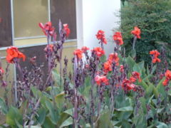 Italian Group Canna cultivated in Brazil