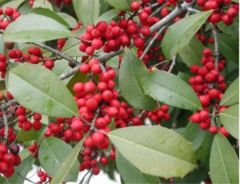 American Holly (Ilex opaca) foliage and berries