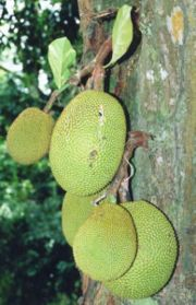 Jackfruit tree with fruit