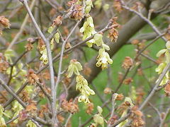 Corylopsis spicata in flower