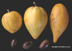 Eggfruit3Types-fruitlovers.jpg