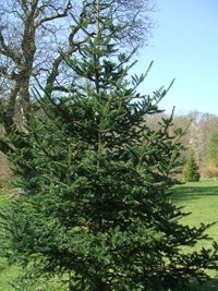 Fir (Abies forrestii) 1.JPG