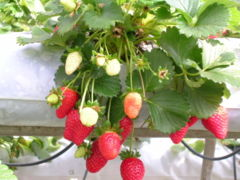 A strawberry plant, the fruit in various stages of ripening.