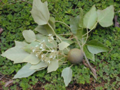 Candlenut (Aleurites moluccana) foliage, flowers and nut