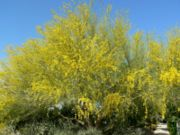 Cercidium floridum whole.jpg