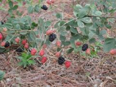 Ripening dewberries at Pamplico, South Carolina
