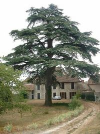 A cedar in a French garden
