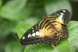 The Clipper Parthenos sylvia